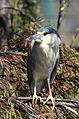 Pedrete Corona Negra, Black Crowned Night Heron, Nycticorax nycticorax (12509906555).jpg