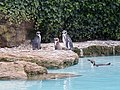 Penguins at Chessington World of Adventures - geograph.org.uk - 70354.jpg