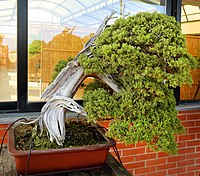 Photograph of windswept-style juniperus bonsai