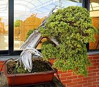 Fotografia de juniperus bonsai varrido pelo vento