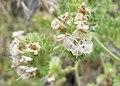 Phacelia ramosissima 3.jpg