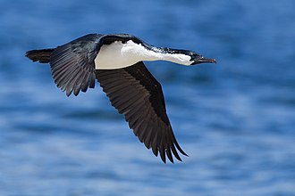 Black-faced cormorant - In flight
