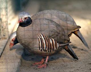 Philbys partridge species of bird