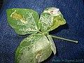 Phodoryctis caerulea larvae on Canavalia sp..jpg