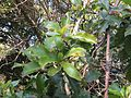 Photinia integrifolia at Mannavan Shola, Anamudi Shola National Park, Kerala (5).jpg