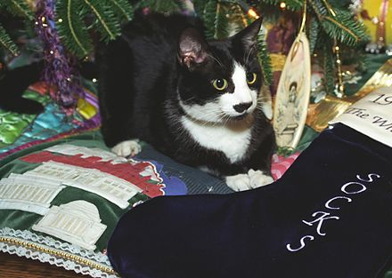 Socks Clinton (the White House cat of the Clinton family) lays with his stocking Photograph of Socks the Cat Sitting next to a Christmas Stocking Embroidered with the Name Socks- 12-21-1993 (6461509613) (cropped1).jpg