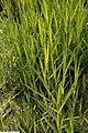 Phragmites australis aurea 1zz.jpg