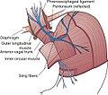 Phrenoesophageal ligament 1.jpg