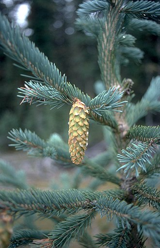 Picea engelmannii - Foliage and cone