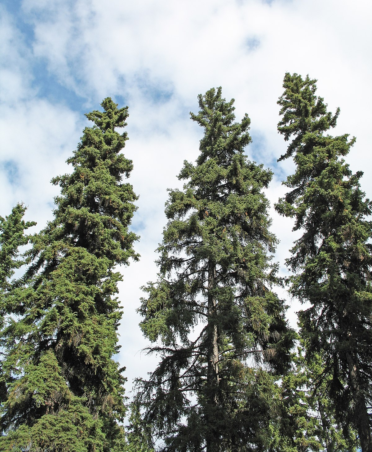 Norway spruce forms forests of the northern hemisphere 68