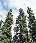 Picea glauca Fairbanks.jpg