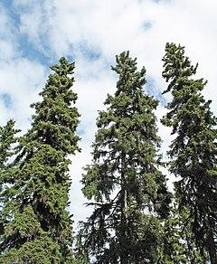 <i>Picea glauca</i> species of plant