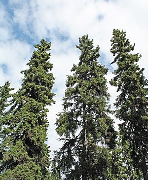Picea glauca - Mature white spruce in Fairbanks, Alaska