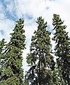 Picea glauca Fairbanks.jpg