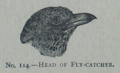 Picture Natural History - No 114 - Head of Fly-catcher.png