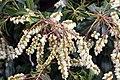 Pieris japonica Scarlet OHara 1zz.jpg