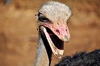 PikiWiki Israel 53295 ostrich.jpg