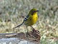 Pine Warbler male RWD3.jpg