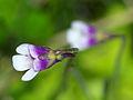 Pinguicula vulgaris subsp. bicolor.jpg