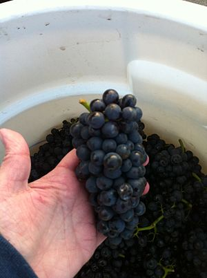 Pinot Noir Précoce - Pinot Precoce grown at Cloud Mountain Vineyard in the Puget Sound AVA of Western Washington