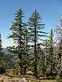 Pinus balfouriana USFS.jpg
