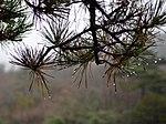 Pinus hwangshanensis foliage 20141108.jpg