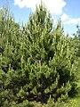 Pinus nigra young tree Bulgaria.jpg