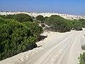 Pinus pinea arena Doñana.jpg