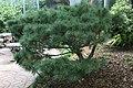 Pinus strobus Nana 1zz.jpg