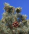 Pinyon pine cones Pinus monophylla.jpg