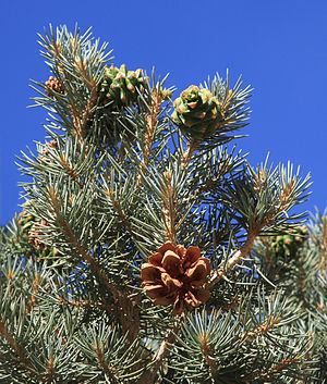 Pinus monophylla - Pinyon pine 2-year cone cycle