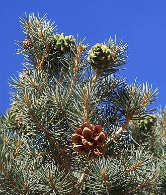 Pinus monophylla - The single-leaf pinyon has a 2-year seed cone cycle: this photo, taken in July, shows a brown cone that matured and opened last year, immature green cones that were pollinated last year and will mature later this year, and this year's tiny immature cones on the branch tips.