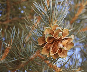 English: Pinyon pine (Pinus monophylla), open ...