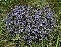 Piorno azul (3813646199).jpg