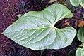 Pitcairnia atrorubens 1zz.jpg