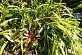 Pitcairnia smithiorum - Naples Botanical Garden - Naples, Florida - DSC09687.jpg