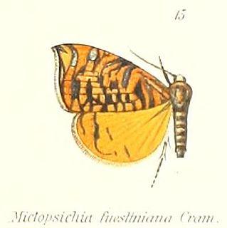 <i>Rubropsichia</i> genus of insects