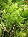 Plagiomnium undulatum p7250027.jpg