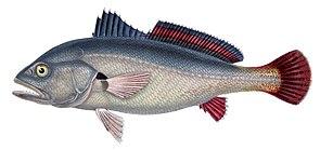 Süßwasser-Umberfisch