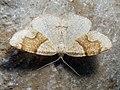 Plagodis pulveraria - Barred umber - Перистоусая пяденица ивовая (27064423878).jpg