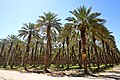 Plantación de Dátil en San Luis Rio Colorado.jpg