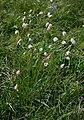 Plantago argentea 2.jpg