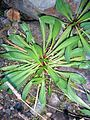 Plantago lanceolata-tr.jpg