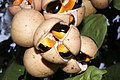 Plants Chisocheton cumingianus fruit IMG 8254 aril seed.jpg