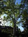 Platane naturdenkmal 418 2.JPG