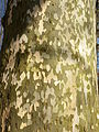 Platanus xhispanica bark.jpg