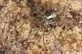 Platnickina tincta (26753652536).jpg