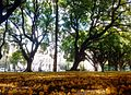 Plaza República de Chile, Buenos Aires, Palermo, Tipuana tipu 02.jpg