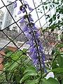 Plectranthus barbatus.jpg