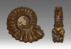 Pliensbachian - Image: Pleuroceras spinatum MHNT.PAL.CEP.2001.86